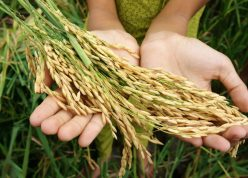 World food security, a global problem, famine at africa, children need to help, poor people need food to live, kid hand with sheaf of paddy on Asia rice field